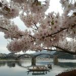 錦帯橋の桜2018の開花状況と予想!見ごろと花見ライトアップ画像と駐車場地図