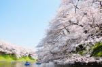 千鳥ヶ淵の桜2018の開花状況と予想!見ごろと花見ライトアップ画像とアクセス地図