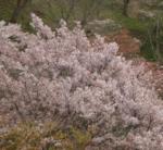 吉野山の桜2018の開花状況と予想!見ごろと花見ライトアップ画像と駐車場地図