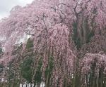 花見山公園の住所と料金と駐車場地図は?桜の開花状況2018の見頃とアクセス