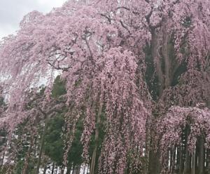 花見山公園の桜