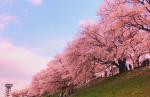 淀川河川公園の桜2018の満開見頃と開花状況!桜祭りと駐車場地図