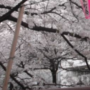 目黒川の桜祭り2018の満開予想!開花状況と期間!出店ランチとアクセス地図