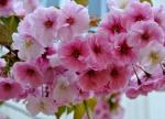 五稜郭公園の桜2018!開花状況や見頃予想!画像と種類や本数も