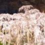 三春滝桜お花見の見頃情報!開花予想と状況2018!ライトアップとライブカメラも